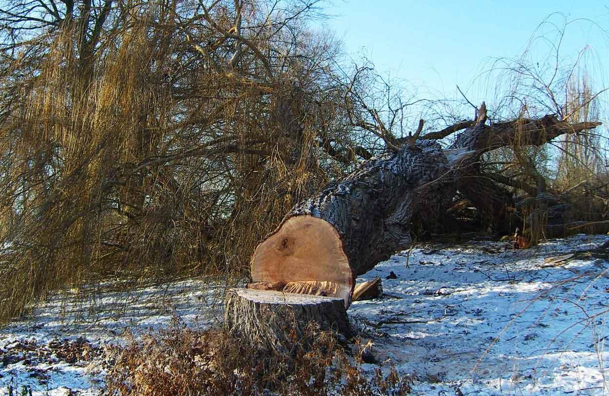 Baumdienst-Kruse-und-Sohn-Baumfaellungen